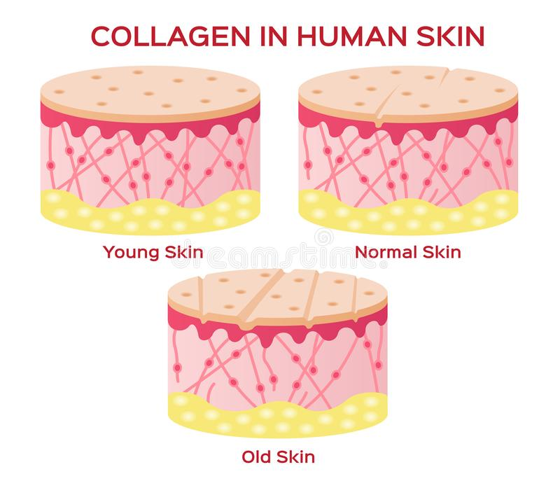 Collagen in younger skin and aging version stock illustration