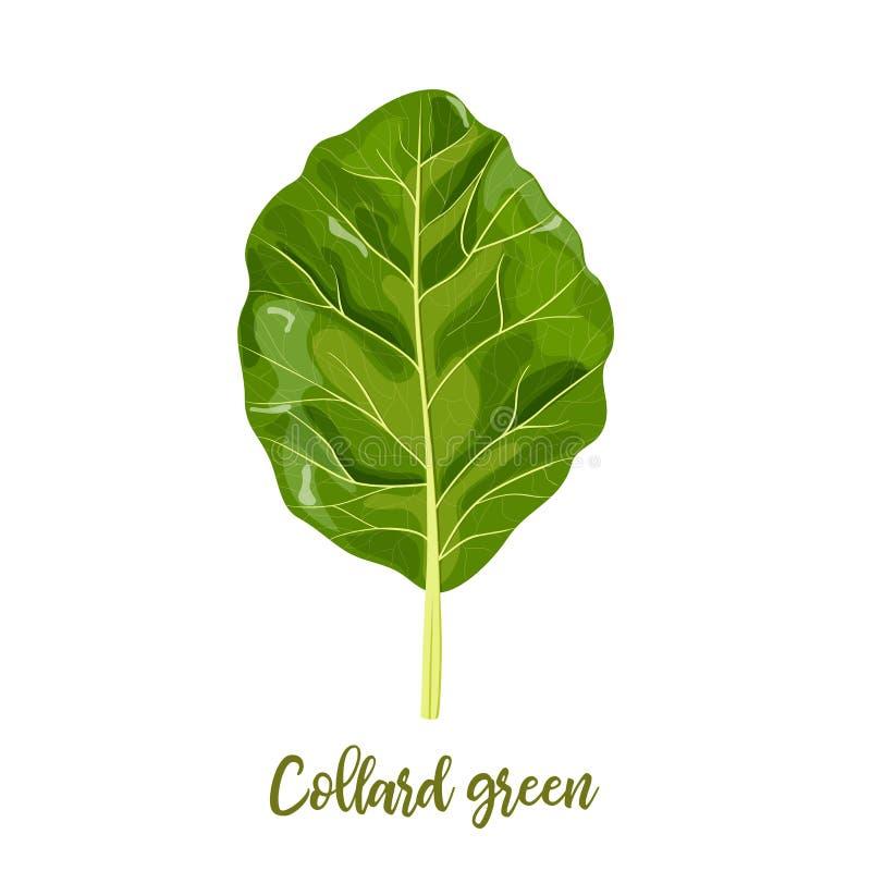 Collard greens leaves. Collards, Brassica oleracea, Acephala. Food concept. Fresh juicy raw cabbage. Healthy diet. Vegetarian, spring vegetables, seasonings stock illustration