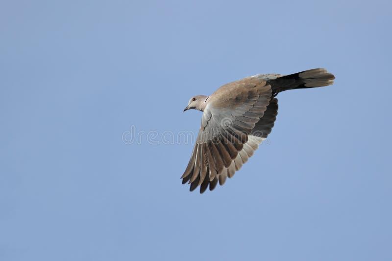 Collared голубь в полете стоковая фотография rf