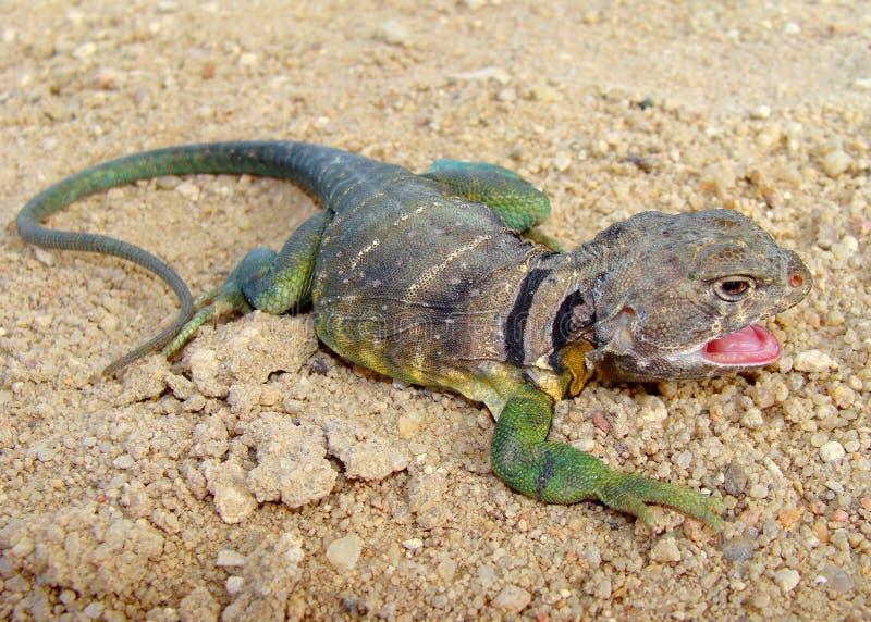 collared мужчина ящерицы crotaphytus collaris восточный стоковая фотография rf