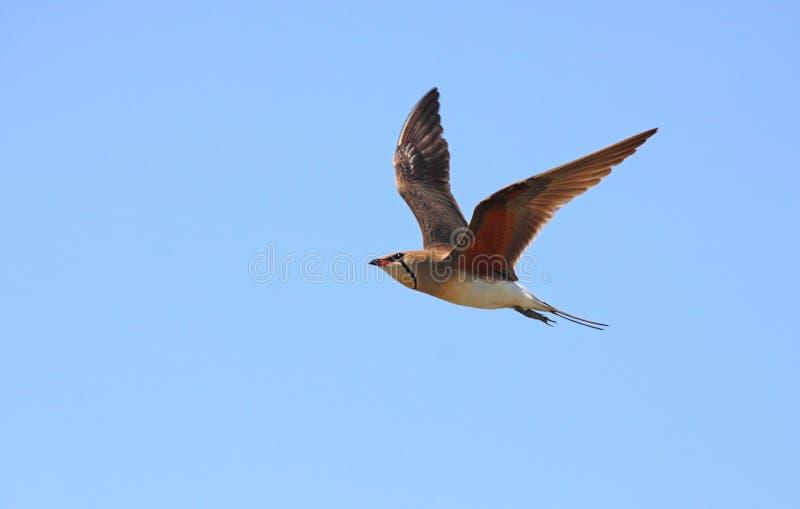 collared полет pratincole стоковое изображение rf