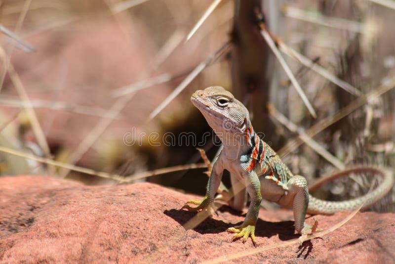 Collared ящерица на горячем утесе стоковые фото