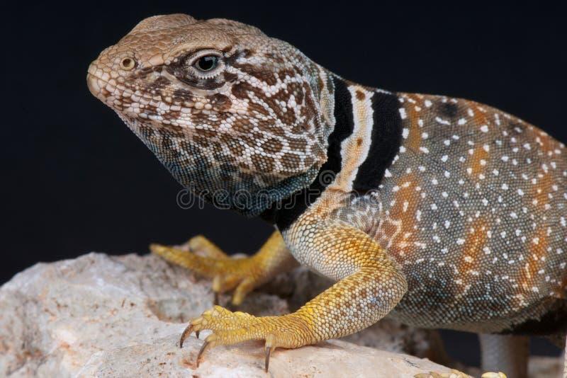 collared ящерица стоковое изображение