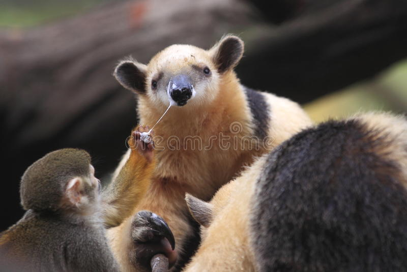 Collared anteater стоковые фотографии rf