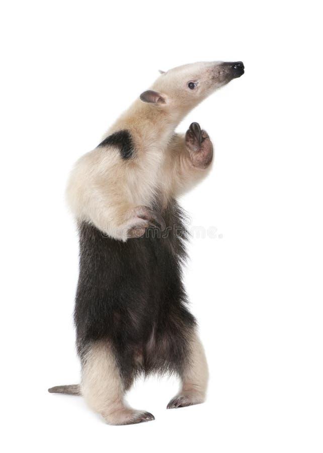 collared anteater tetradactyla tamandua стоковые изображения rf