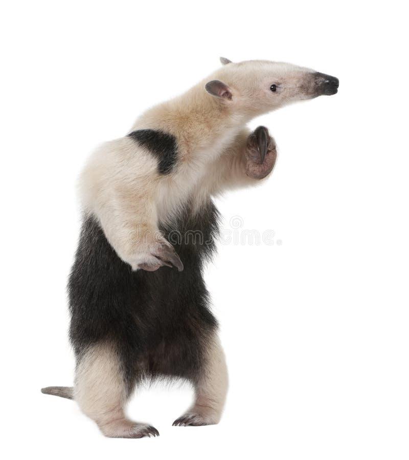 collared anteater tetradactyla tamandua стоковые фотографии rf
