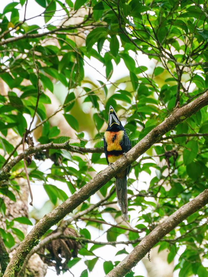 Collared Aracari (Pteroglossus torquatus)  eating a berry, taken in Costa Rica stock photos