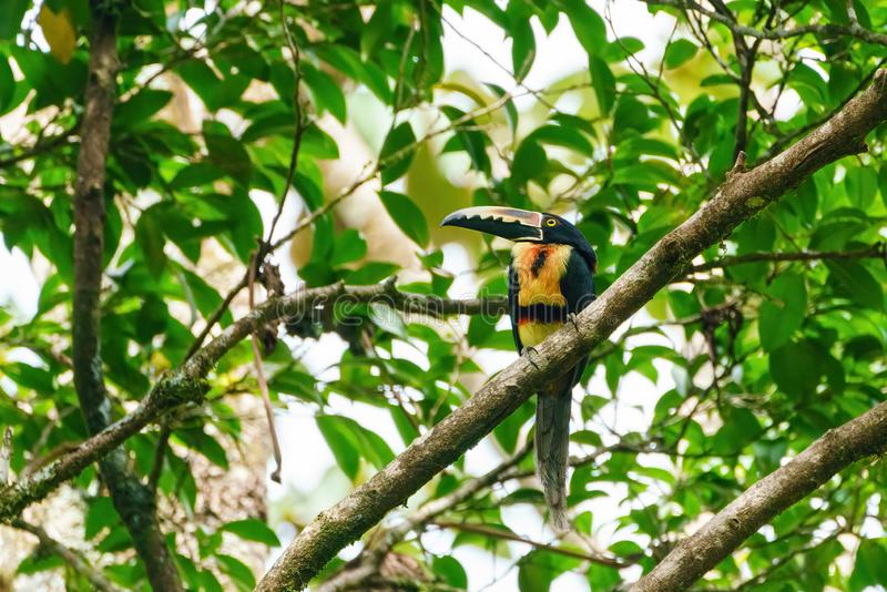 Collared Aracari (Pteroglossus torquatus) perched on a branch in a forest, taken in Costa Rica royalty free stock photos