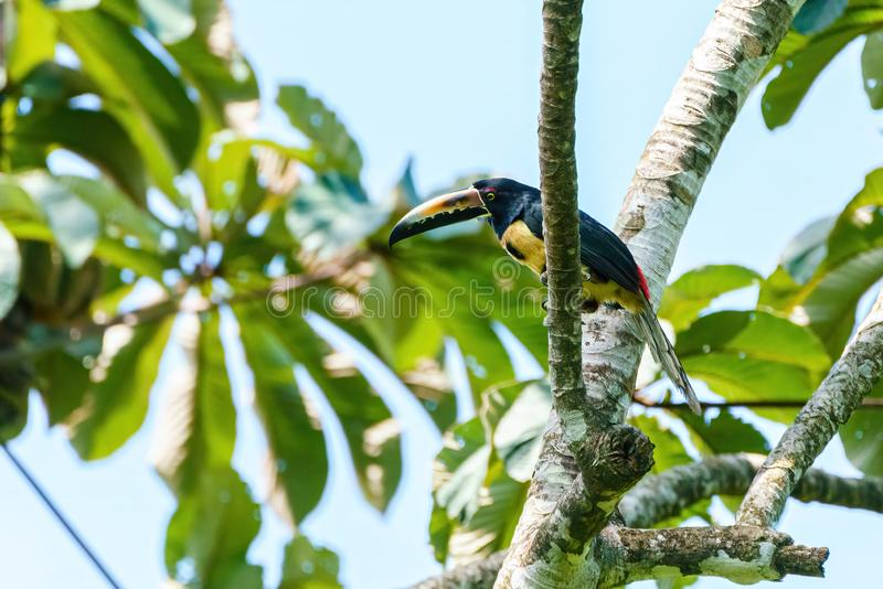 Collared Aracari (Pteroglossus torquatus) perched in a tree, taken in Costa Rica royalty free stock photography