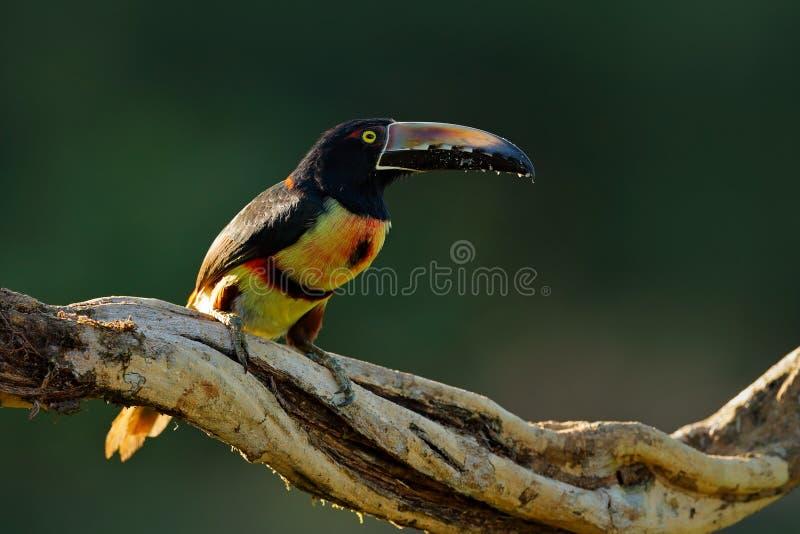 Collared Aracari, Pteroglossus-torquatus, vogel met grote rekening Toekanzitting op de tak in het bos, Boca Tapada, Laguna DE L stock foto's