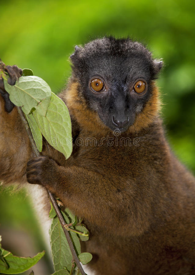 Collared Brown Lemur. Eating leaf royalty free stock photos