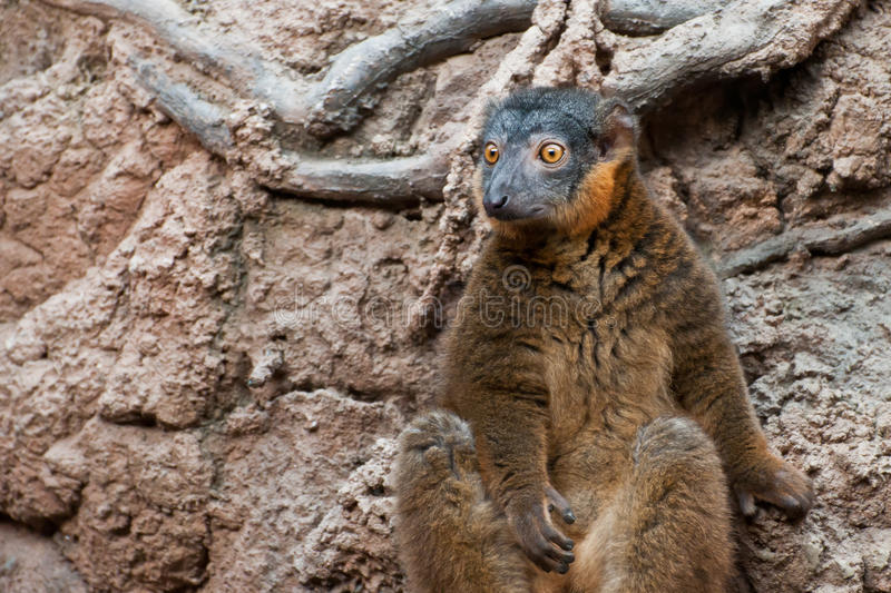 Collared Brown Lemur. A Collared Brown Lemur cautiously searching the woods for predators stock photography