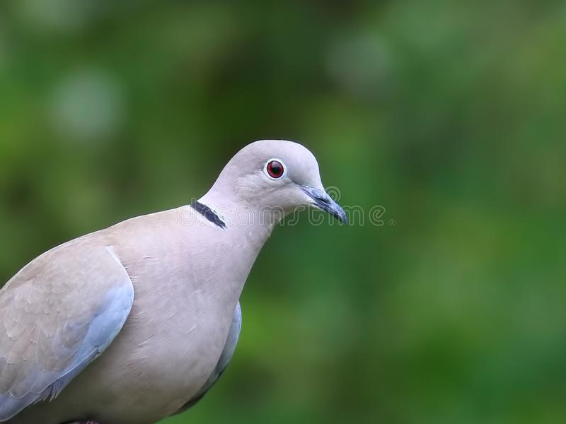 Collared Dove. Collard Dove portrait with green background. Taken in Stevenage May 2018 stock photos