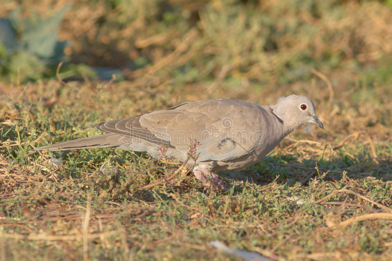 Download Collared Dove On The Ground / Streptopelia Decaoct Stock Photo - Image: 27568750