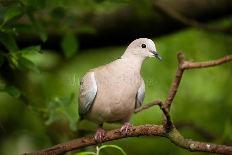Collared dove wild bird in a tree. Wild collared dove bird sat in a tree. Close up natural image with a green foliage background royalty free stock photo