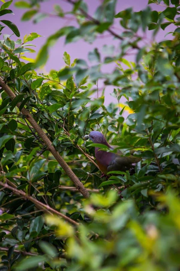 Collared duif in aard op boom stock foto's
