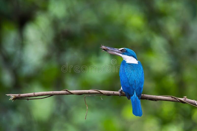 Collared Ijsvogel met Veenmol royalty-vrije stock foto