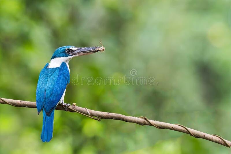 Collared Ijsvogel met Veenmol royalty-vrije stock fotografie