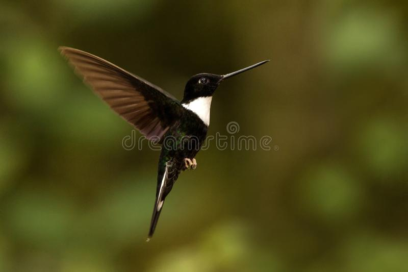 Collared inca hovering in the air,tropical forest, Colombia, bird sucking nectar from blossom in garden. Beautiful hummingbird with outstretched wings,wildlife stock photo