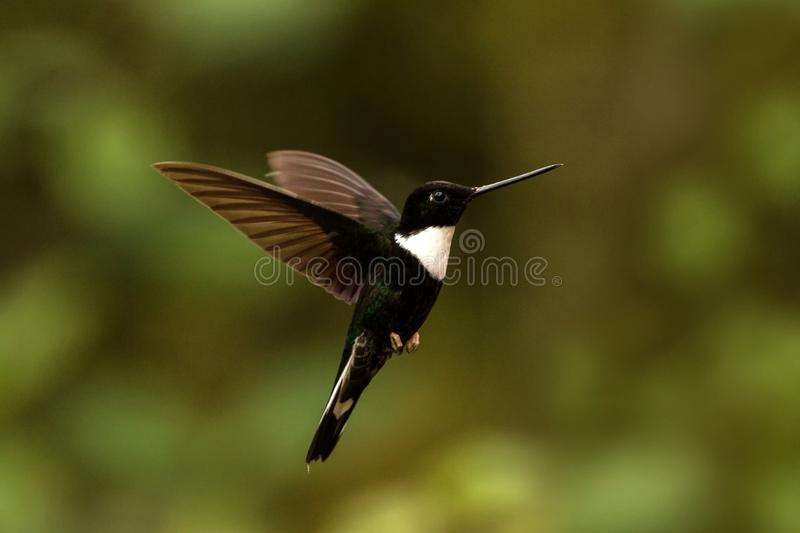 Collared inca hovering in the air,tropical forest, Colombia, bird sucking nectar from blossom in garden. Beautiful hummingbird with outstretched wings,wildlife stock images