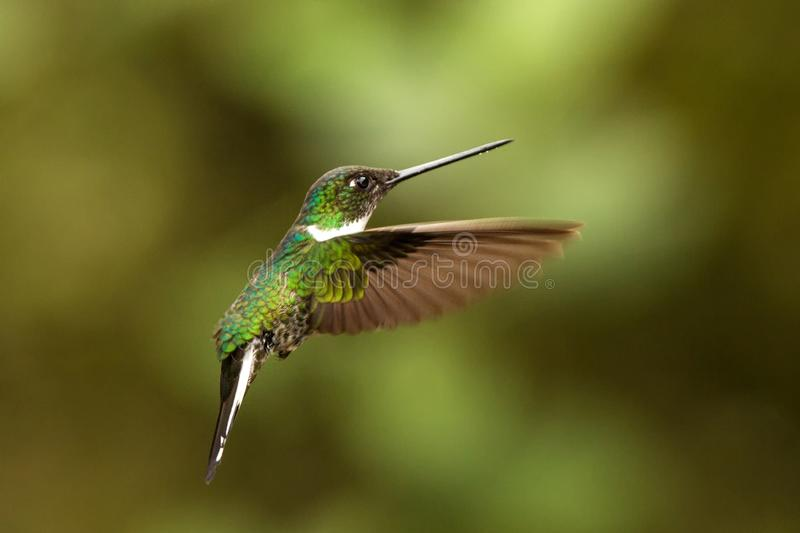 Collared inca hovering in the air,tropical forest, Colombia, bird sucking nectar from blossom in garden. Beautiful hummingbird with outstretched wings,wildlife royalty free stock images