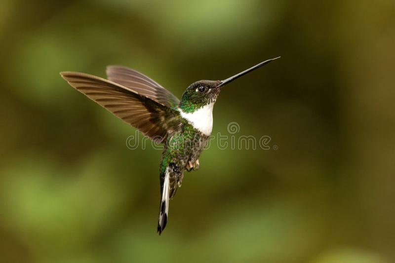 Collared inca hovering in the air,tropical forest, Colombia, bird sucking nectar from blossom in garden. Beautiful hummingbird with outstretched wings,wildlife royalty free stock photos