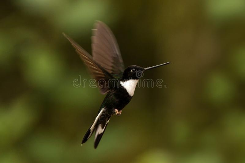 Collared inca hovering in the air,tropical forest, Colombia, bird sucking nectar from blossom in garden. Beautiful hummingbird with outstretched wings,wildlife stock photos