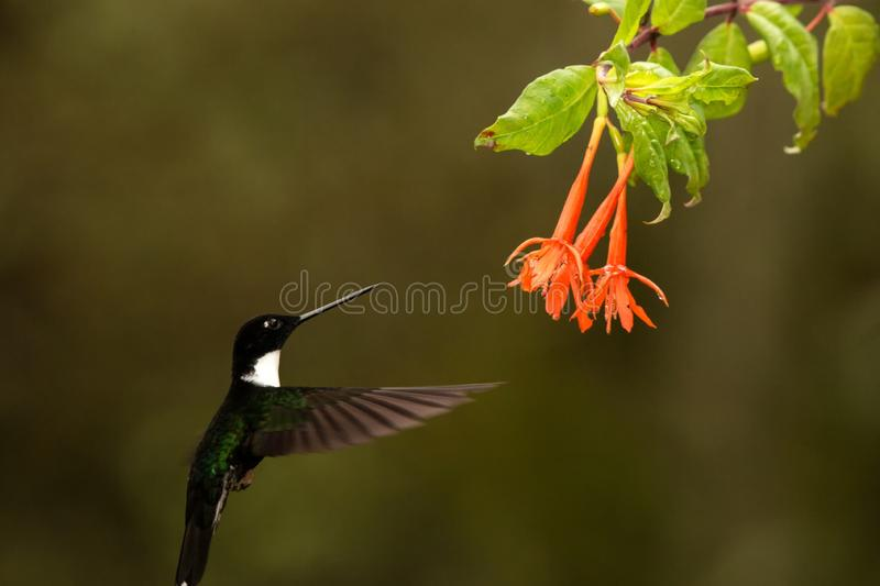 Collared inca hovering next to orange flower,tropical forest, Colombia, bird sucking nectar from blossom in garden. Beautiful hummingbird with outstretched royalty free stock photography