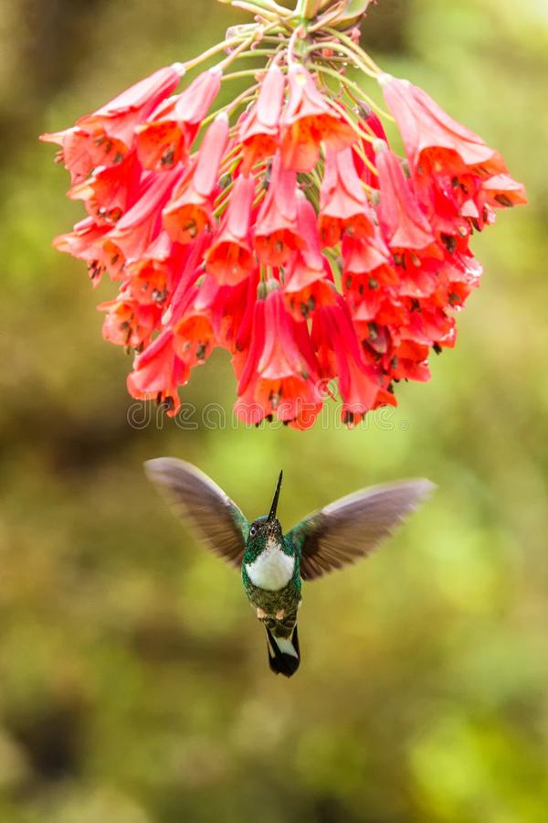 Collared inca hovering next to red flower,tropical forest, Colombia, bird sucking nectar from blossom in garden. Beautiful hummingbird with outstretched wings stock photo