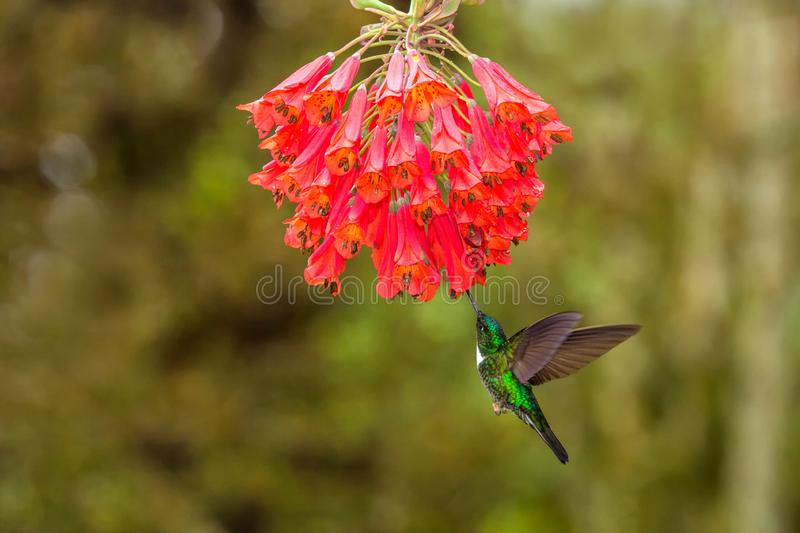 Collared inca hovering next to red flower,tropical forest, Colombia, bird sucking nectar from blossom in garden. Beautiful hummingbird with outstretched wings royalty free stock photos