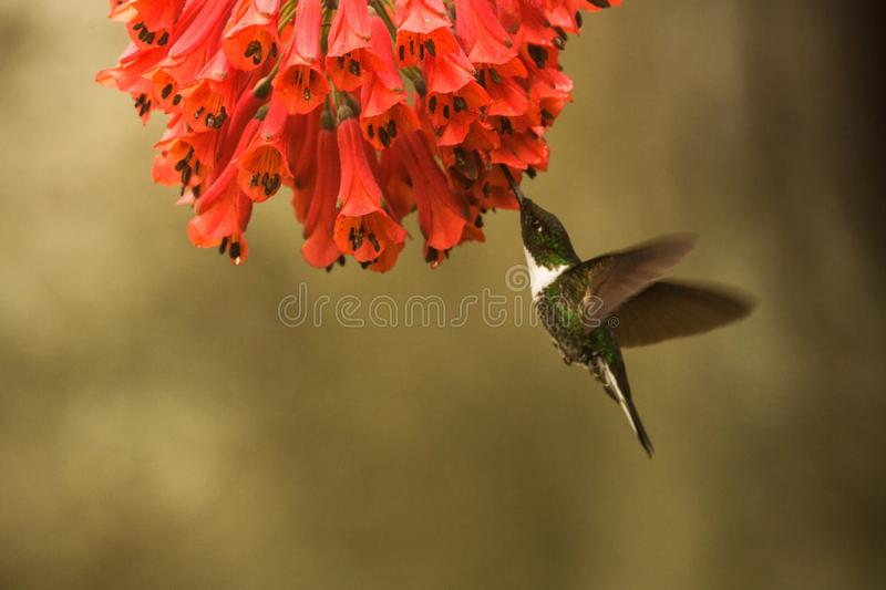 Collared inca hovering next to red flower,tropical forest, Colombia, bird sucking nectar from blossom in garden. Beautiful hummingbird with outstretched wings royalty free stock images
