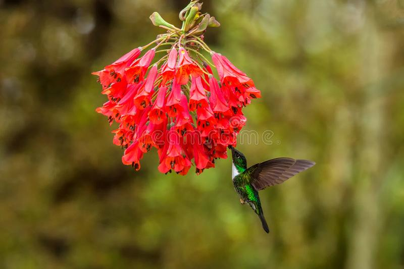 Collared inca hovering next to red flower,tropical forest, Colombia, bird sucking nectar from blossom in garden. Beautiful hummingbird with outstretched wings stock images