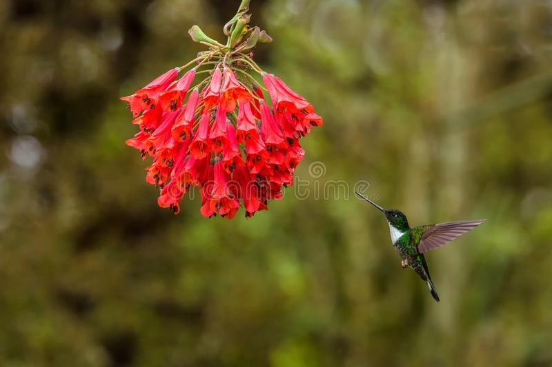 Collared inca hovering next to red flower,tropical forest, Colombia, bird sucking nectar from blossom in garden. Beautiful hummingbird with outstretched wings stock image