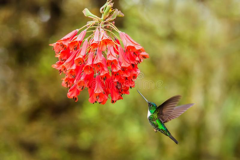 Collared inca hovering next to red flower,tropical forest, Colombia, bird sucking nectar from blossom in garden. Beautiful hummingbird with outstretched wings stock photos