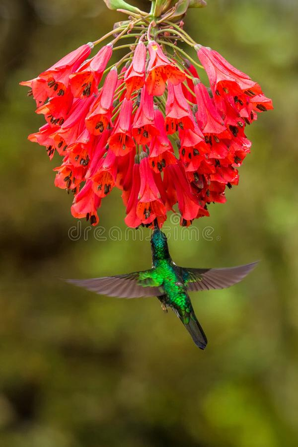 Collared inca hovering next to red flower,tropical forest, Colombia, bird sucking nectar from blossom in garden. Beautiful hummingbird with outstretched wings royalty free stock photo
