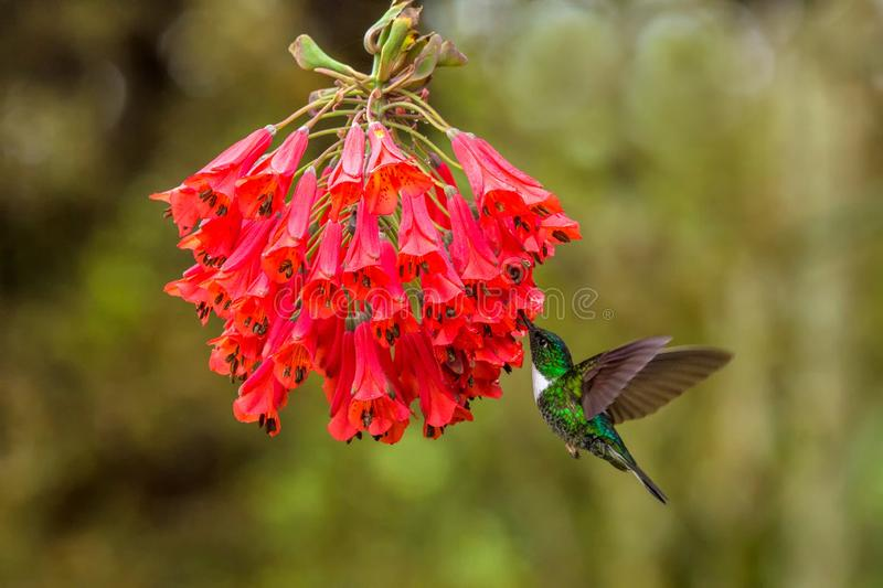 Collared inca hovering next to red flower,tropical forest, Colombia, bird sucking nectar from blossom in garden. Beautiful hummingbird with outstretched wings royalty free stock photography