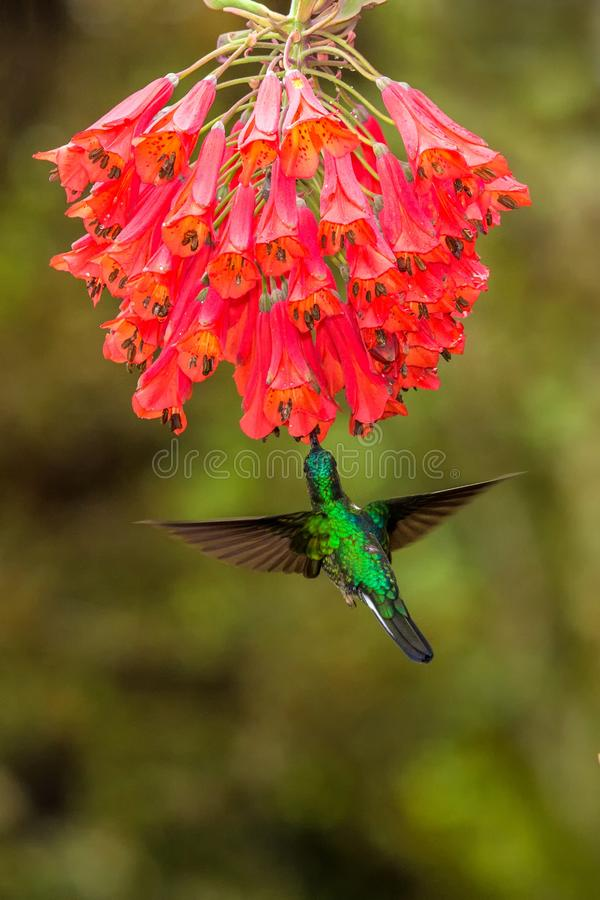 Collared inca hovering next to red flower,tropical forest, Colombia, bird sucking nectar from blossom in garden. Beautiful hummingbird with outstretched wings stock photography