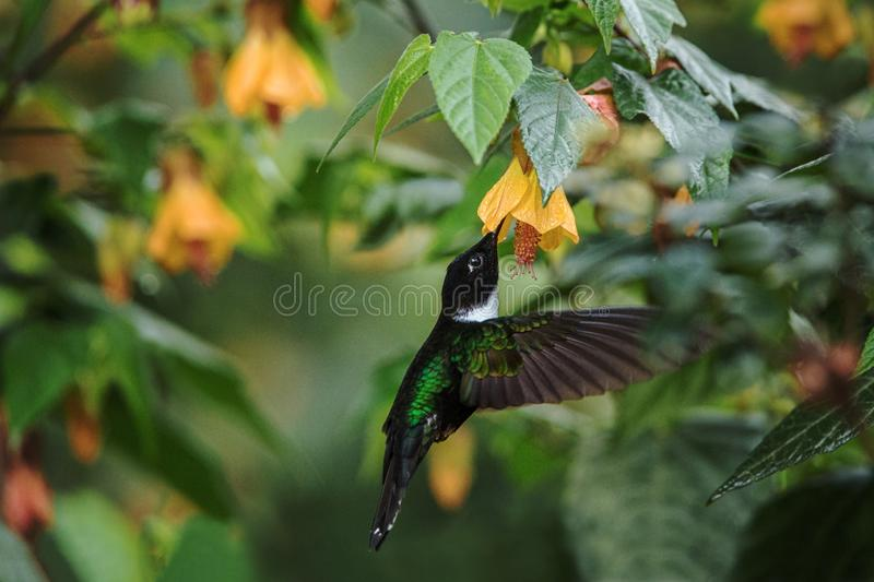 Golden-bellied starfrontlet hovering next to red flower,tropical forest, Colombia, bird sucking nectar from blossom in garden. Collared inca hovering next to royalty free stock images