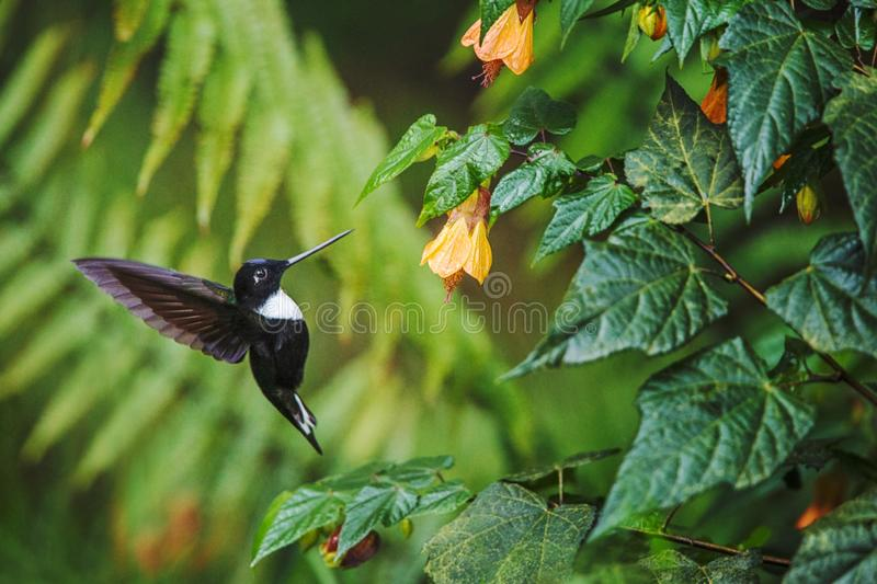Collared inca hovering next to yellow flower,tropical forest, Colombia, bird sucking nectar from blossom in garden. Beautiful hummingbird with outstretched stock photo