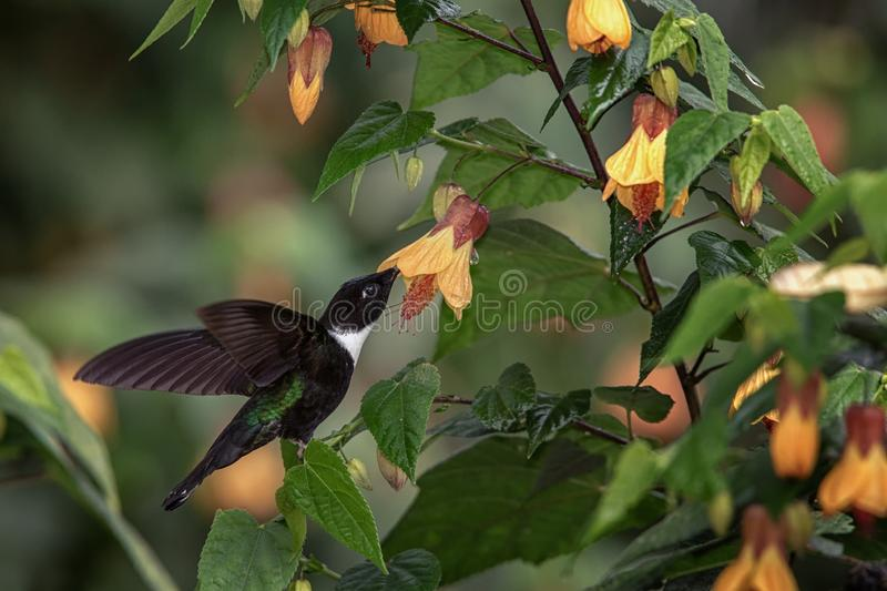 Collared inca hovering next to yellow flower,tropical forest, Colombia, bird sucking nectar from blossom in garden. Beautiful hummingbird with outstretched stock photography