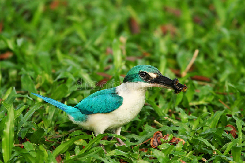 Download Collared Kingfisher stock photo. Image of kingfisher - 24351038
