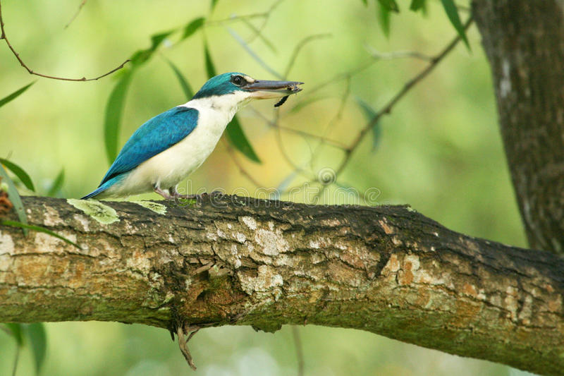 Download Collared Kingfisher stock image. Image of hunt, centipede - 24351057