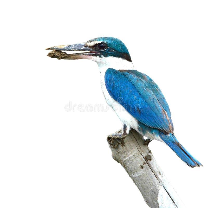 Collared kingfisher bird. Blue and white Kingfisher, Collared kingfisher (Todiramphus sanctus), on the stump, white background royalty free stock photo