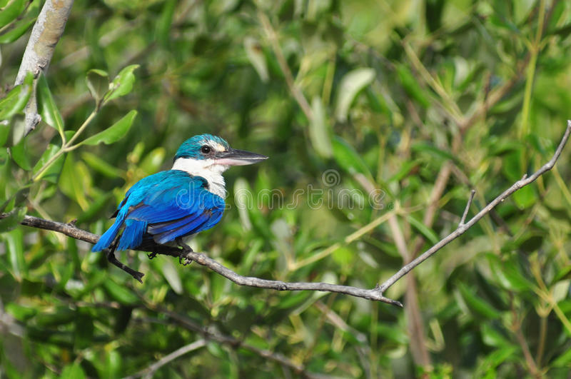 Collared Kingfisher in the forest. Collared Kingfisher (Todiramphus chloris) in the forest royalty free stock photo