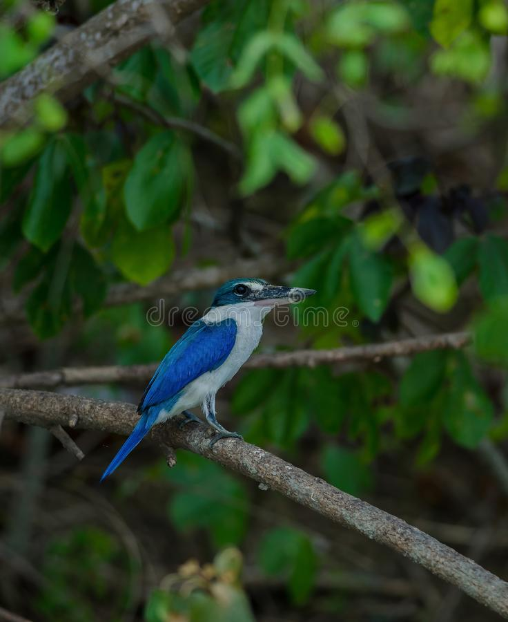 Collared kingfisher perching on tree. Collared kingfisher Todiramphus sanctus perching on tree stock images