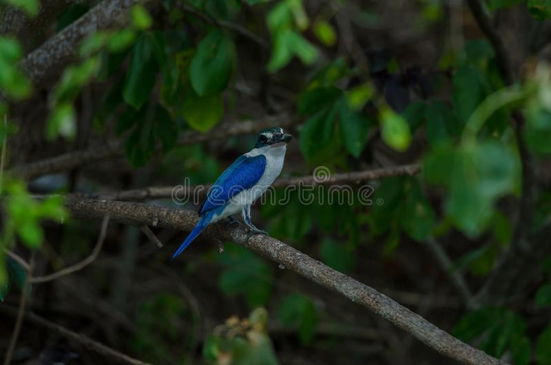Collared kingfisher perching on tree. Collared kingfisher Todiramphus sanctus perching on tree royalty free stock image