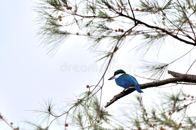Download Collared Kingfisher stock photo. Image of fish, catch - 39510068