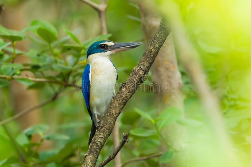 Collared Kingfisher. (Todiramphus chloris) in nature forest royalty free stock image