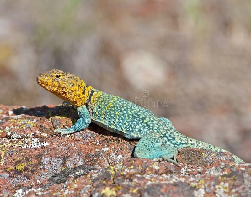 Collared Lizard 11 royalty free stock photo