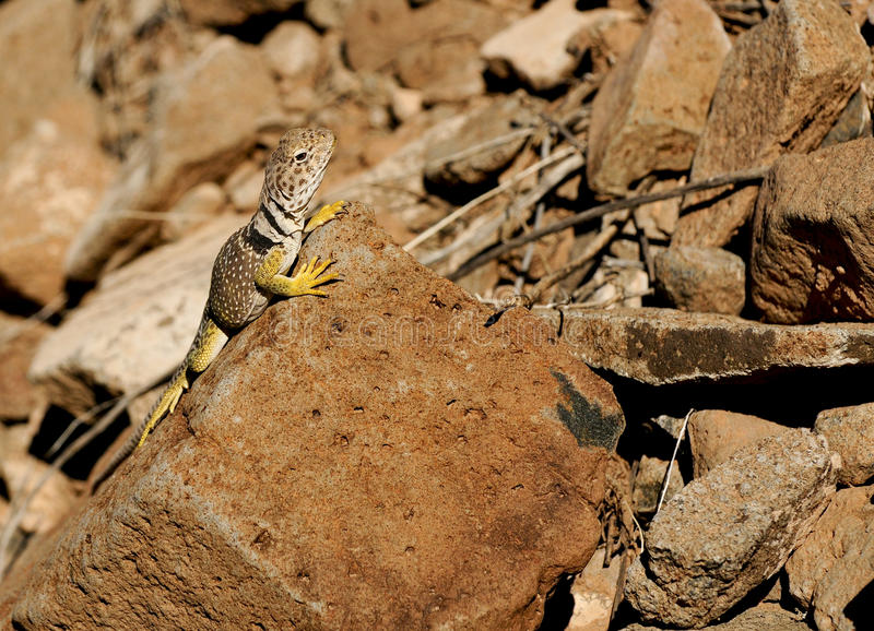 Collared Lizard royalty free stock photo